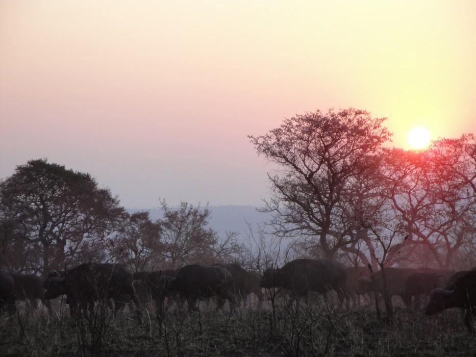 Abendstimmung mit Büffeln