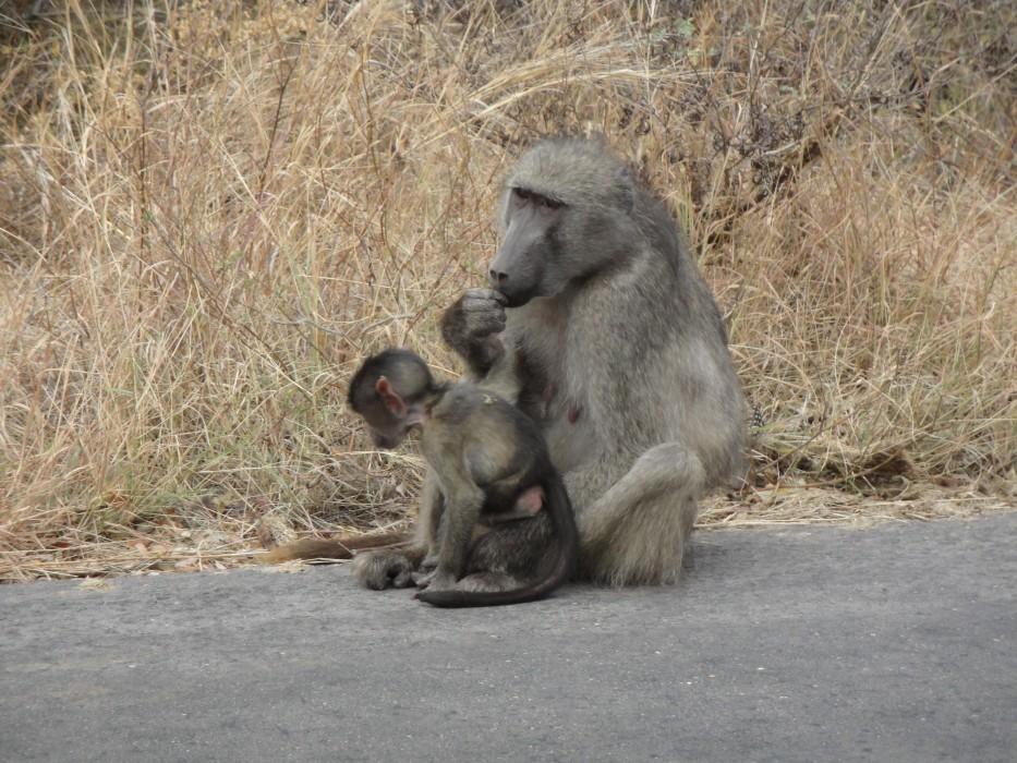 Paviane im Krüger Nationalpark