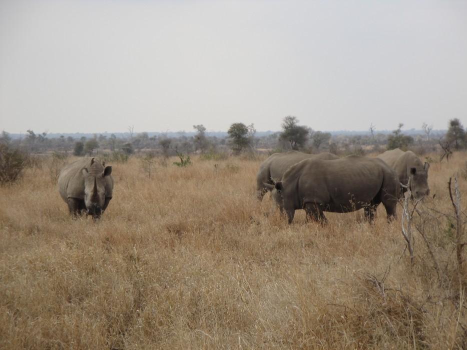 Weisse Rhinos im Kruger Nationalpark