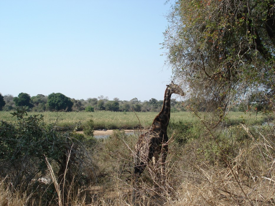 Giraffe am Sabie River im Kruger National Park
