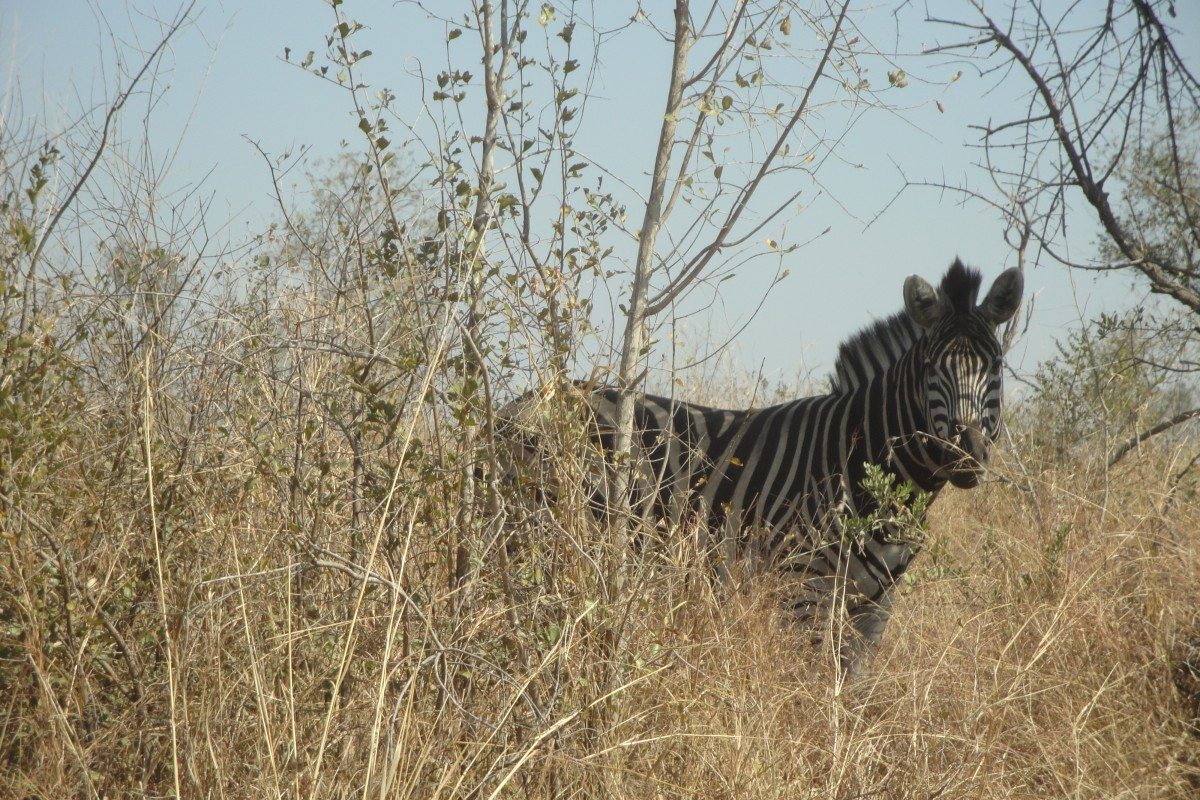 Safari im Krüger Nationalpark in Südafrika