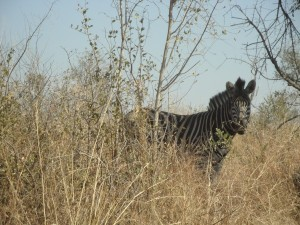 Zebra im Kruger National Park