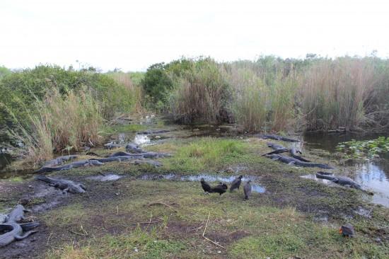 Krokodile beim Anhinga-Trail