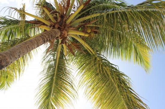 Palme auf Antigua