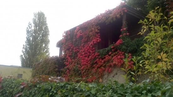Rote Blätter am Haus