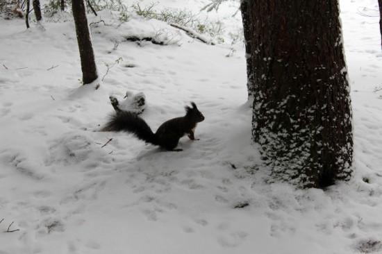 Eichhörnchen für Erheiterung