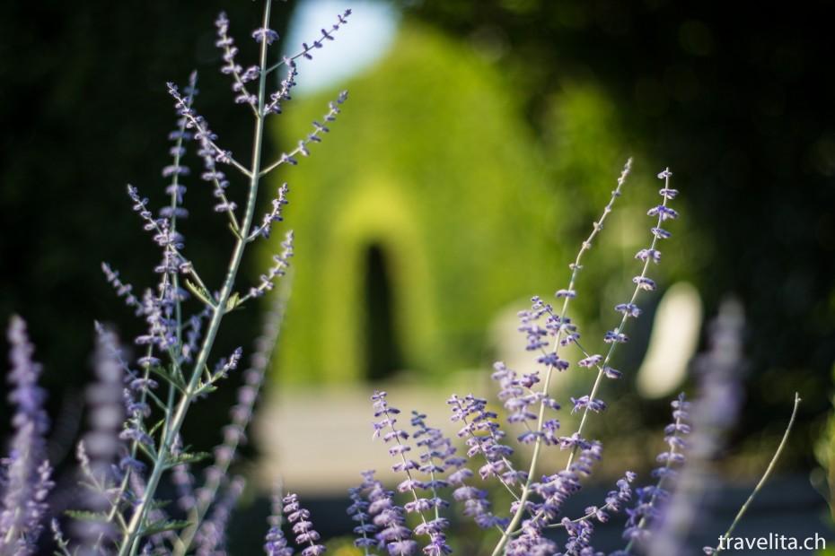 rosen-garten-violett