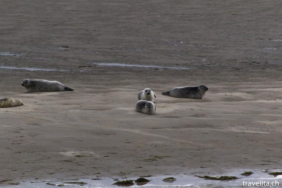 Wattenmeer_Seehunde