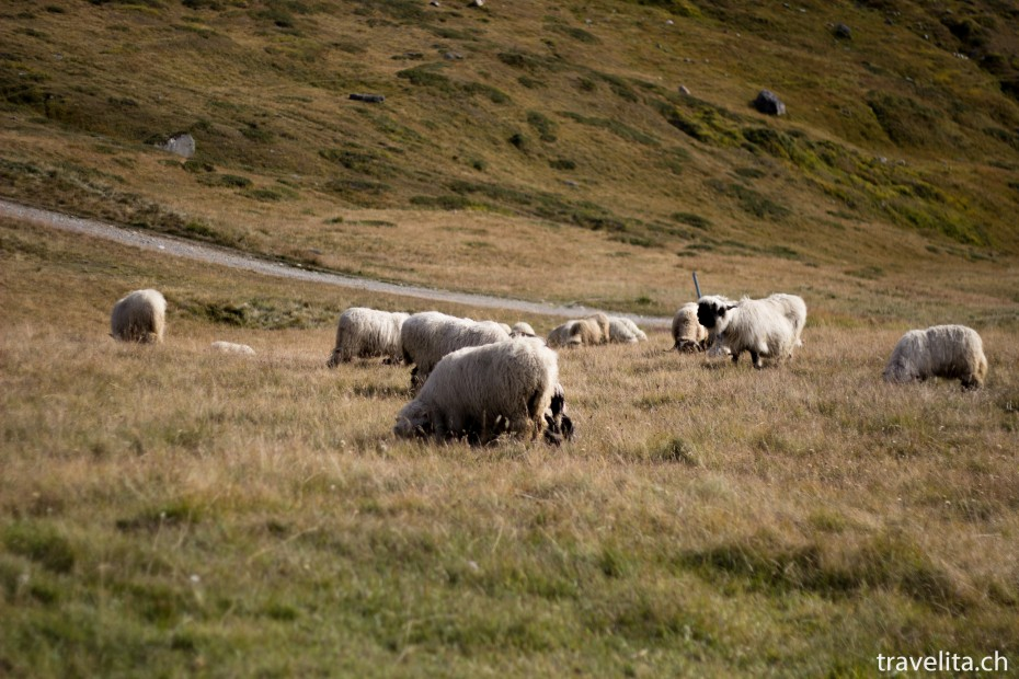 Zermatt_Walliser_Schafe