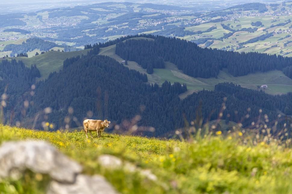 Ebenalp Kühe Alp