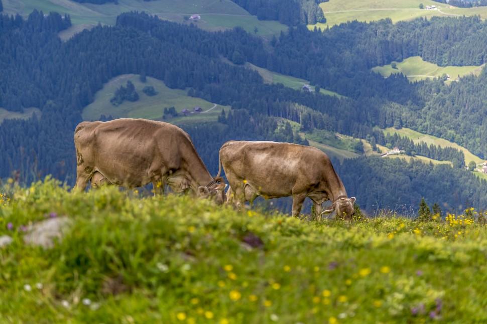 Appenzell Kühe-1
