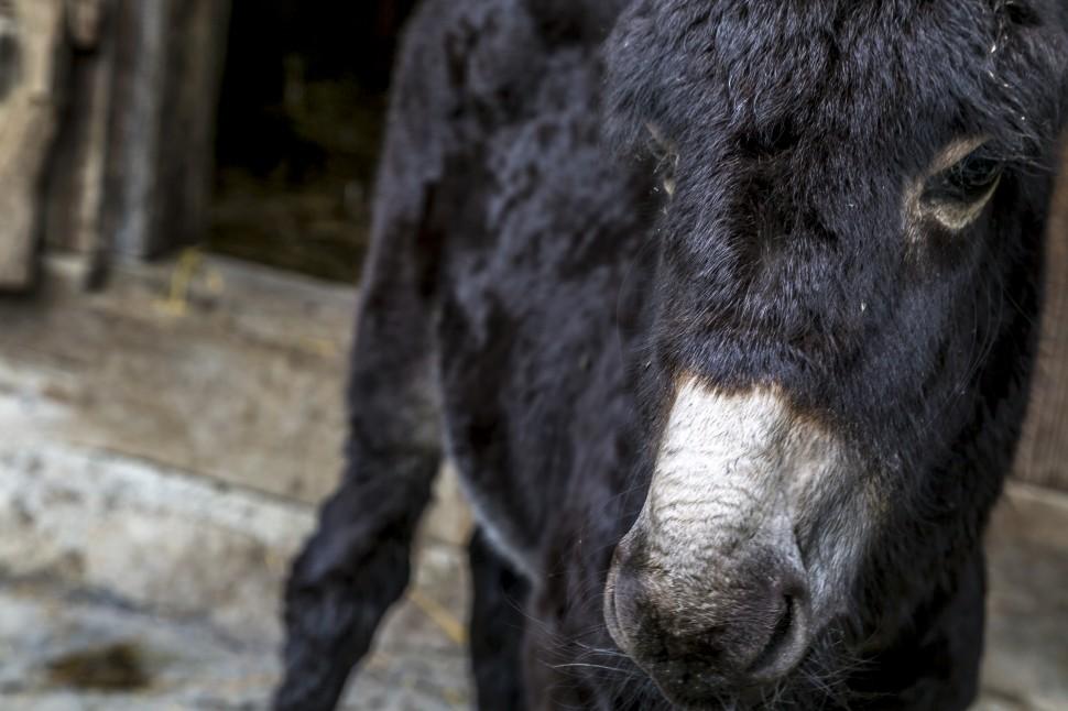 ballenberg-junger-Esel
