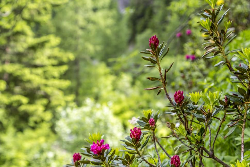 gstaad-Alpenrosen