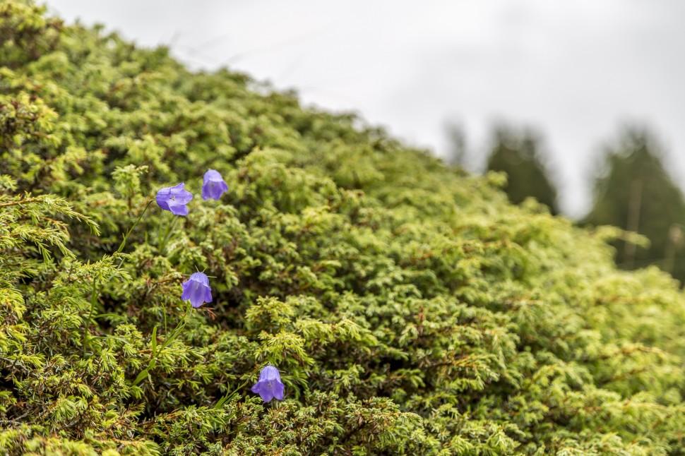 Riederalp-Blumenwiese