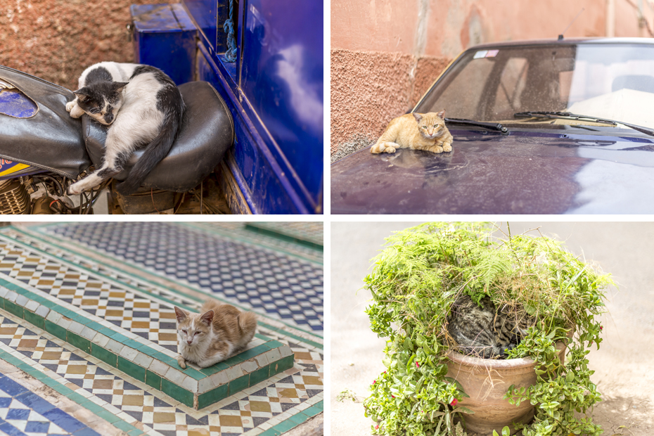 Cats-of-Marrakech