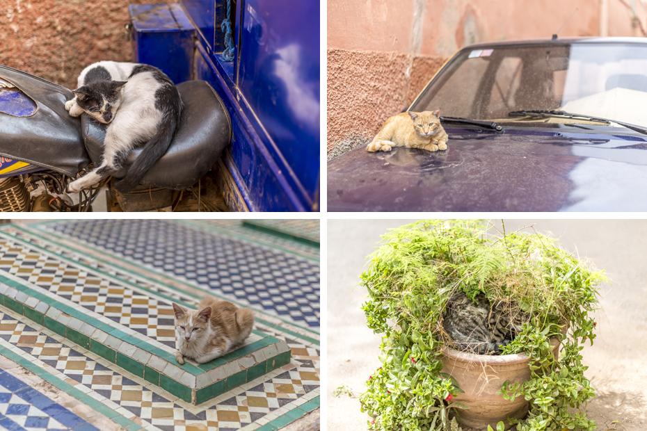 Cats-of-Marrakech