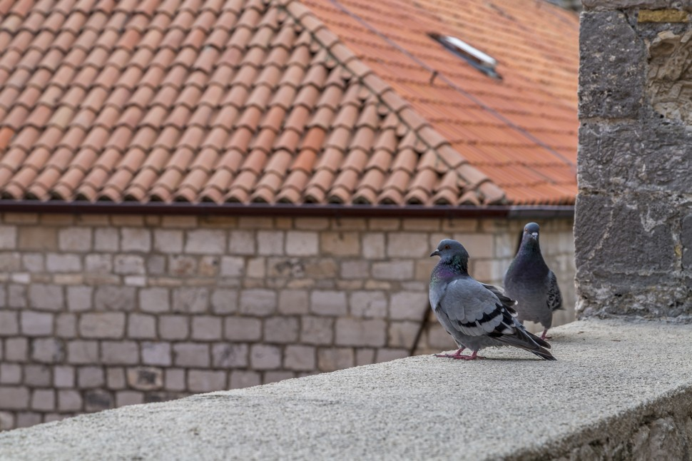 Dubrovnik-Tauben