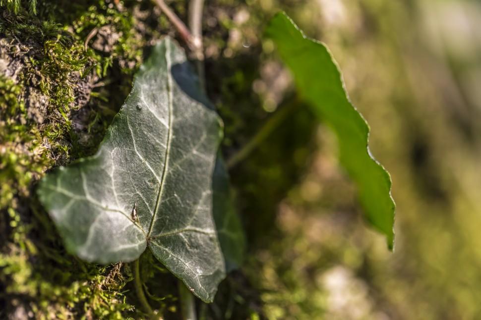 Herbst Efeublatt