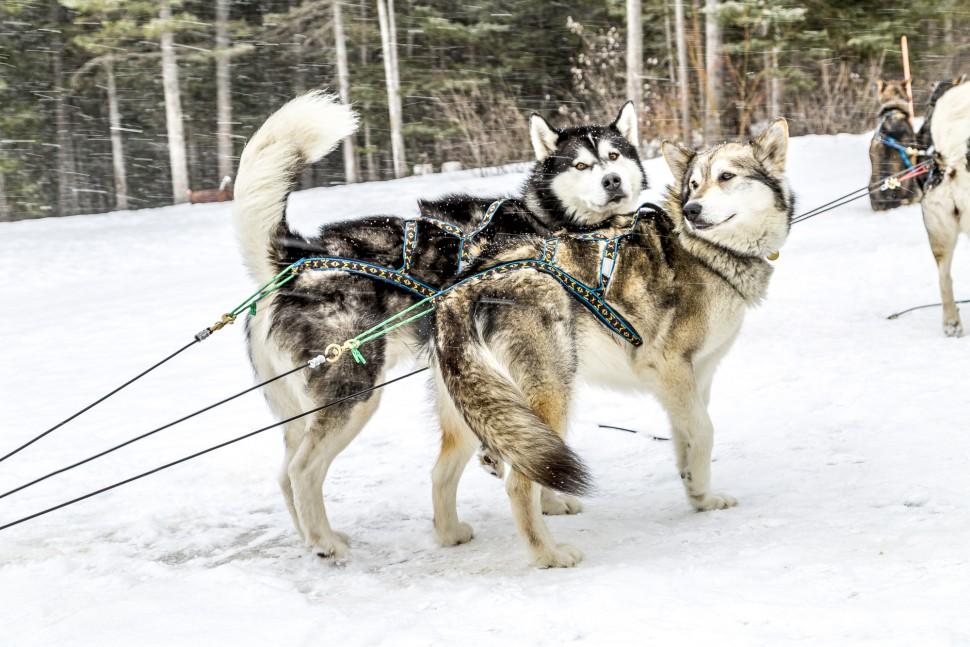 Dog-Sledding-Canmore-Alberta-1