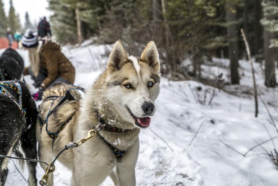 Dog-Sledding-Canmore-Alberta-2