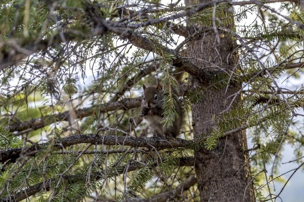 Squirrel-Banff-Nationalpark