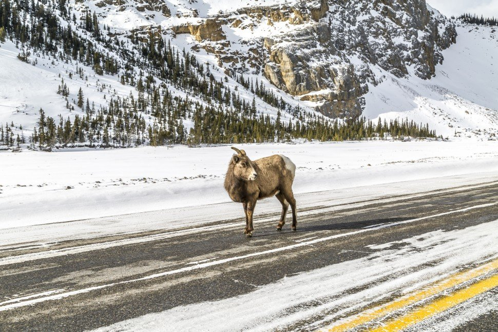 icefields-parkway-rocky-mountain-bighhorn-sheep