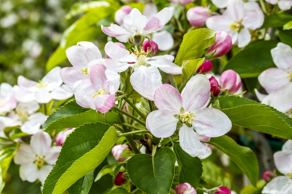 Apfelbluete-Vinschgau-3