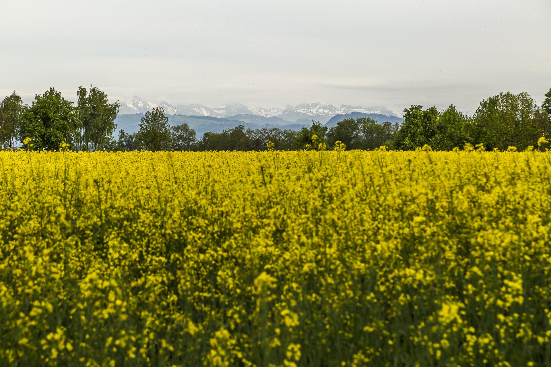 Raps-Greifensee