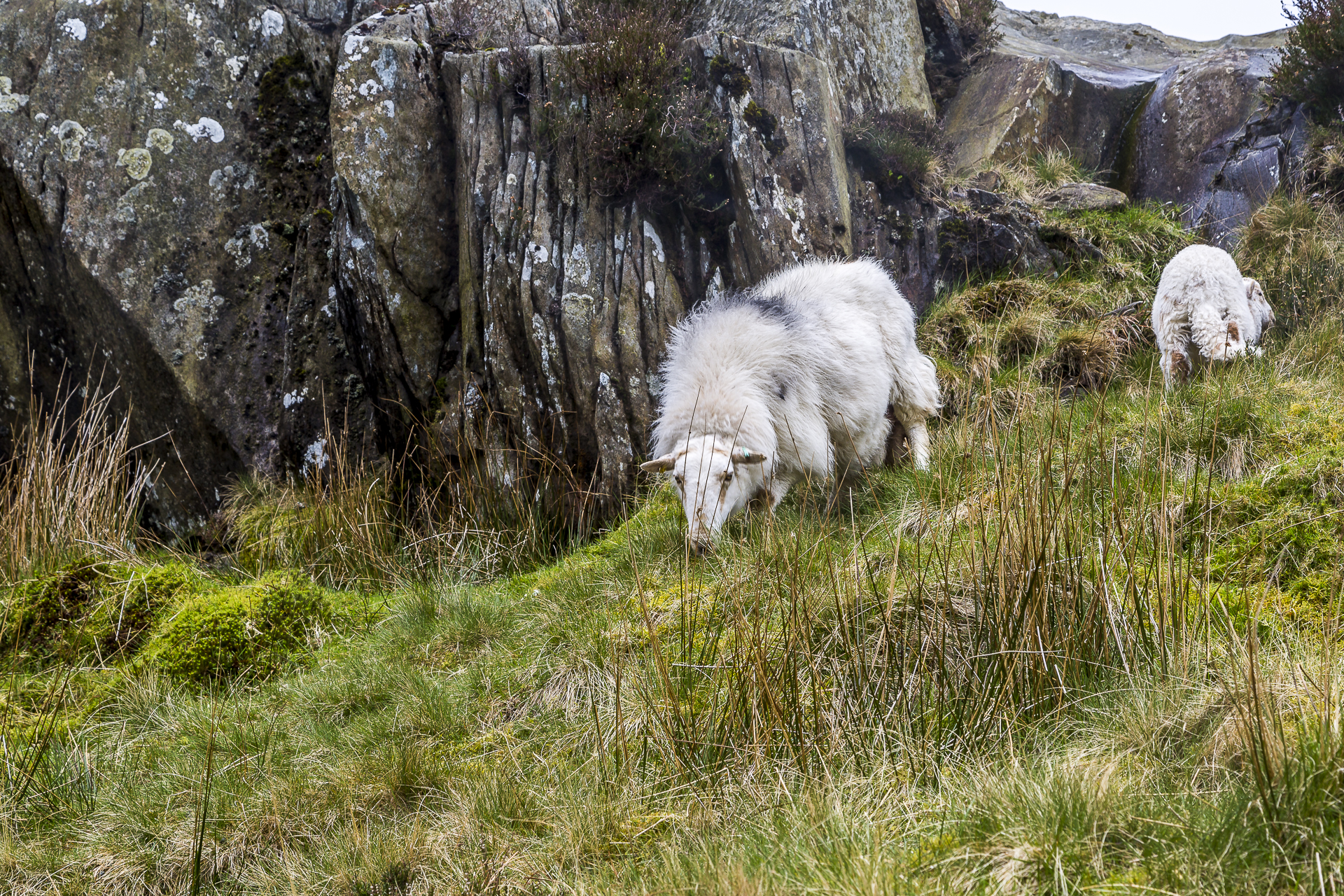 Wales-Schafe