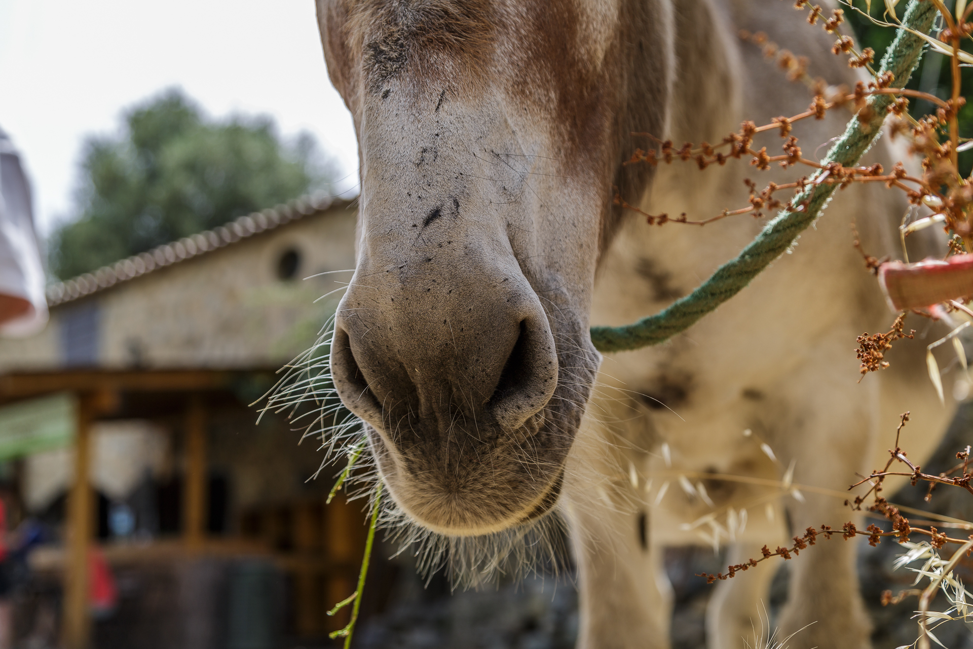 Esel-Korsika