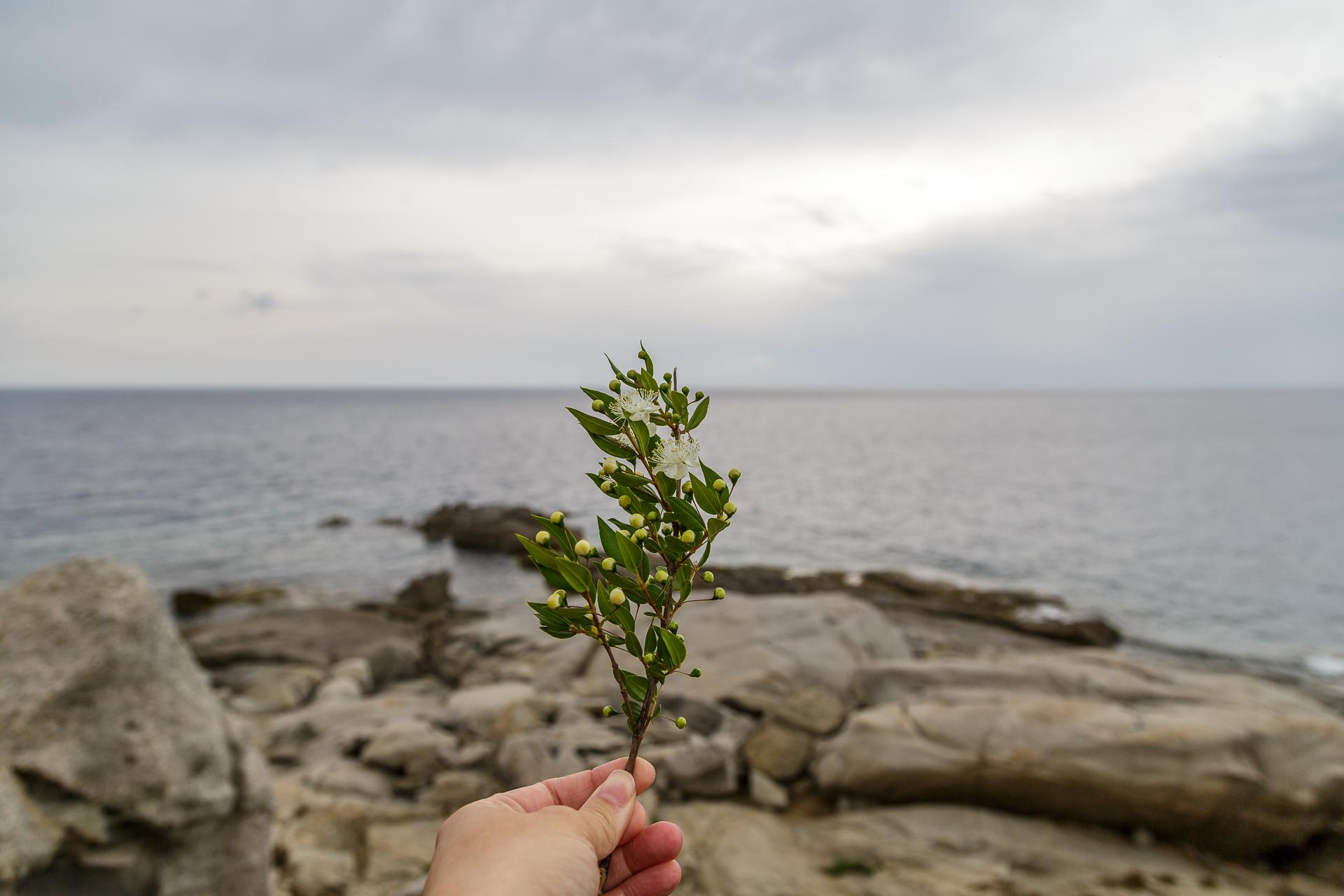 Myrte-Korsika