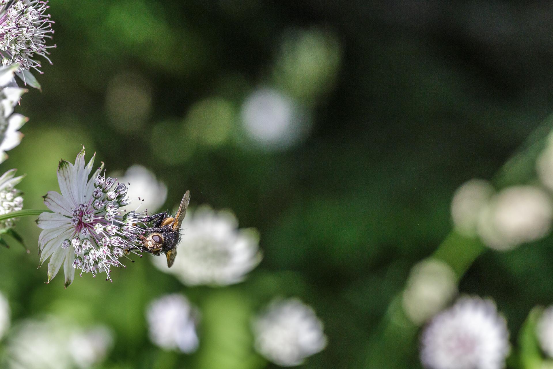 Biene-auf-Blume