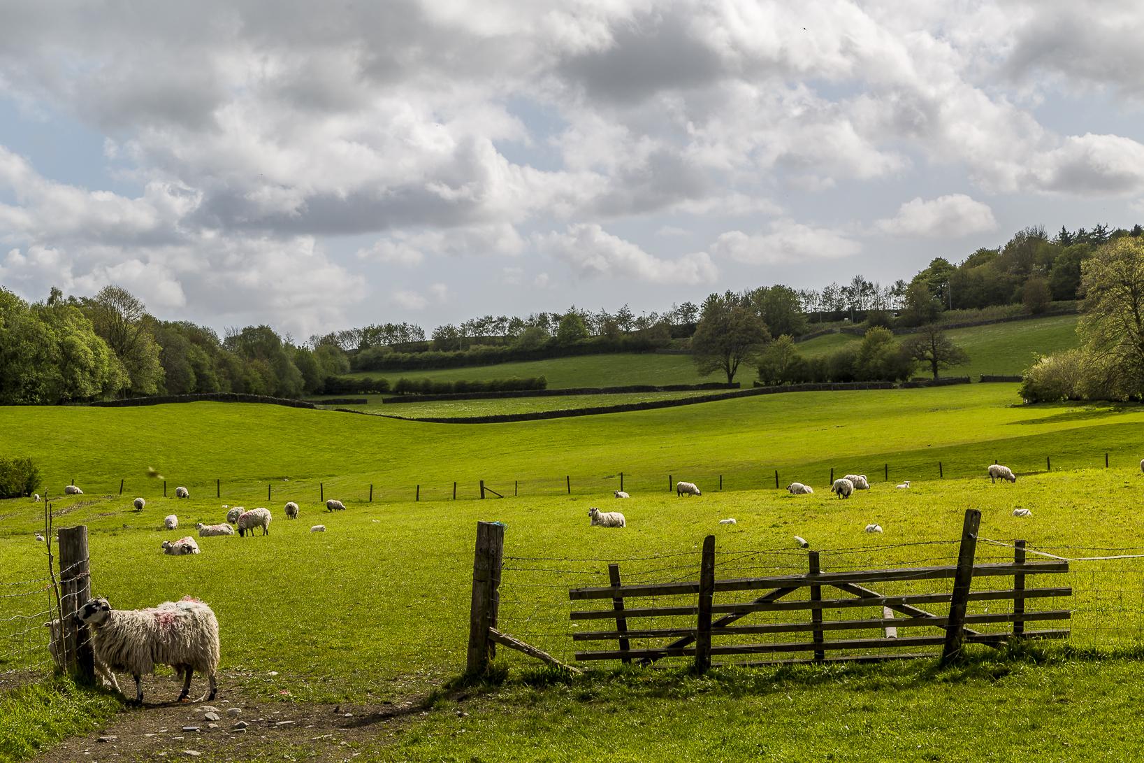 England-Schafe