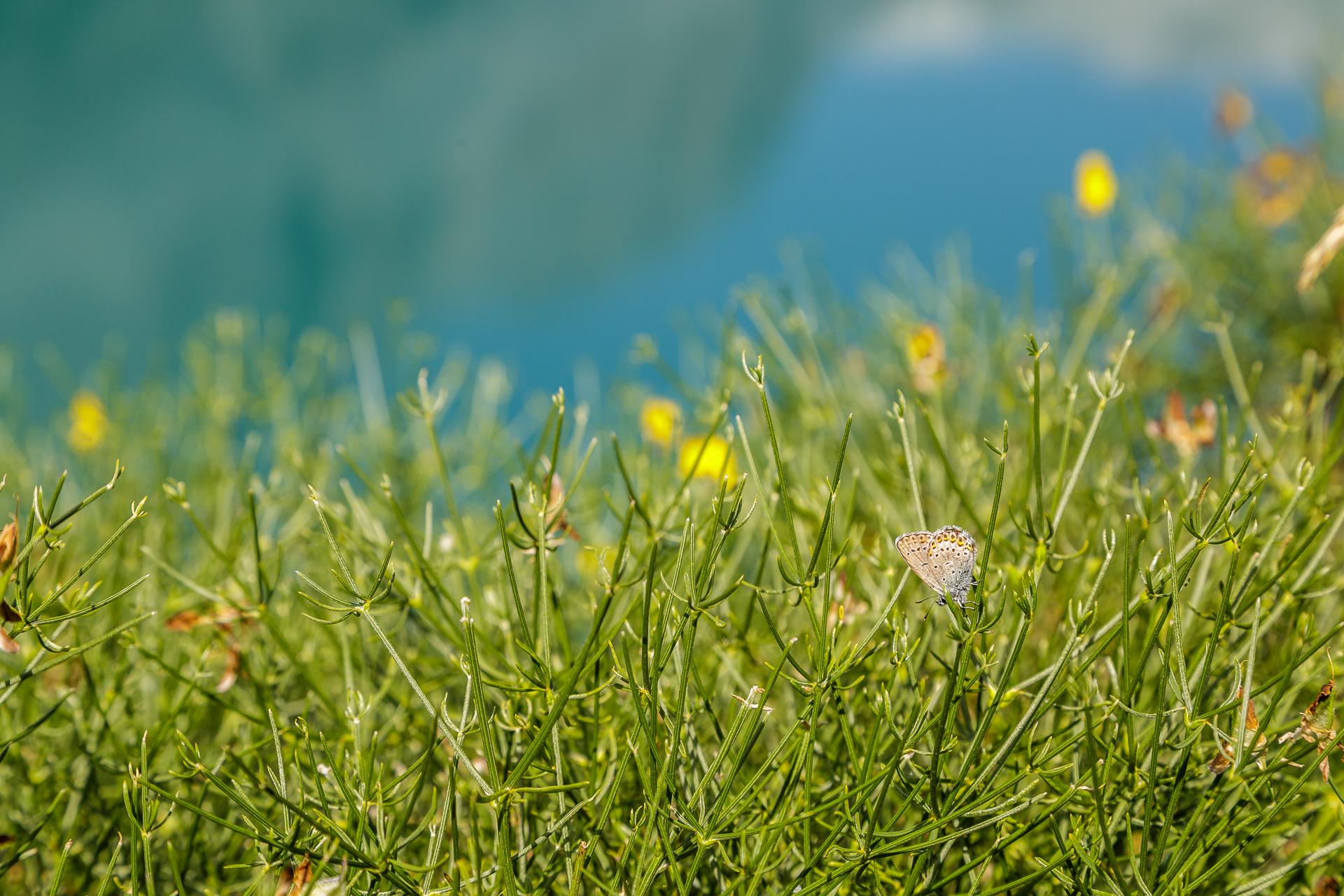 Lac-de-Tseuzier-Alpenblumen