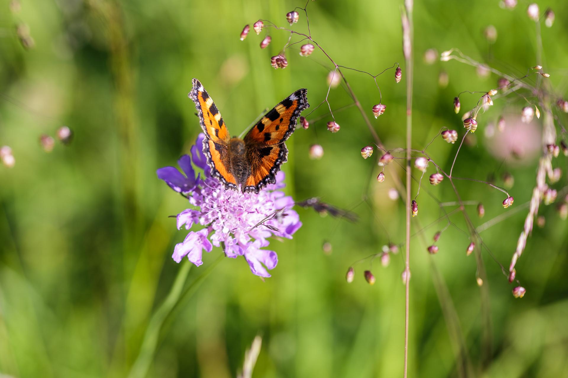 Schmetterling-Makro