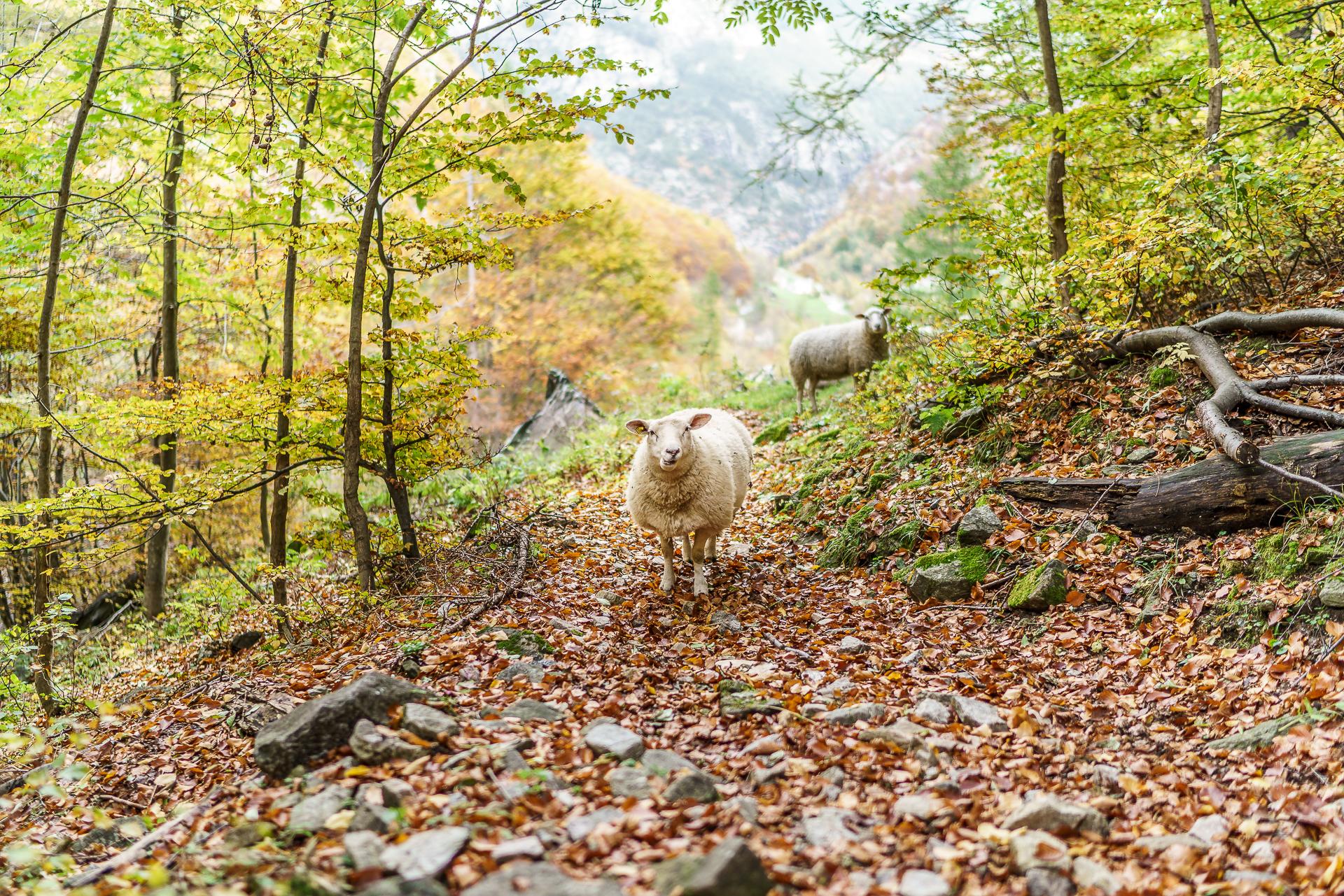 Gondo-Schafe-Herbst