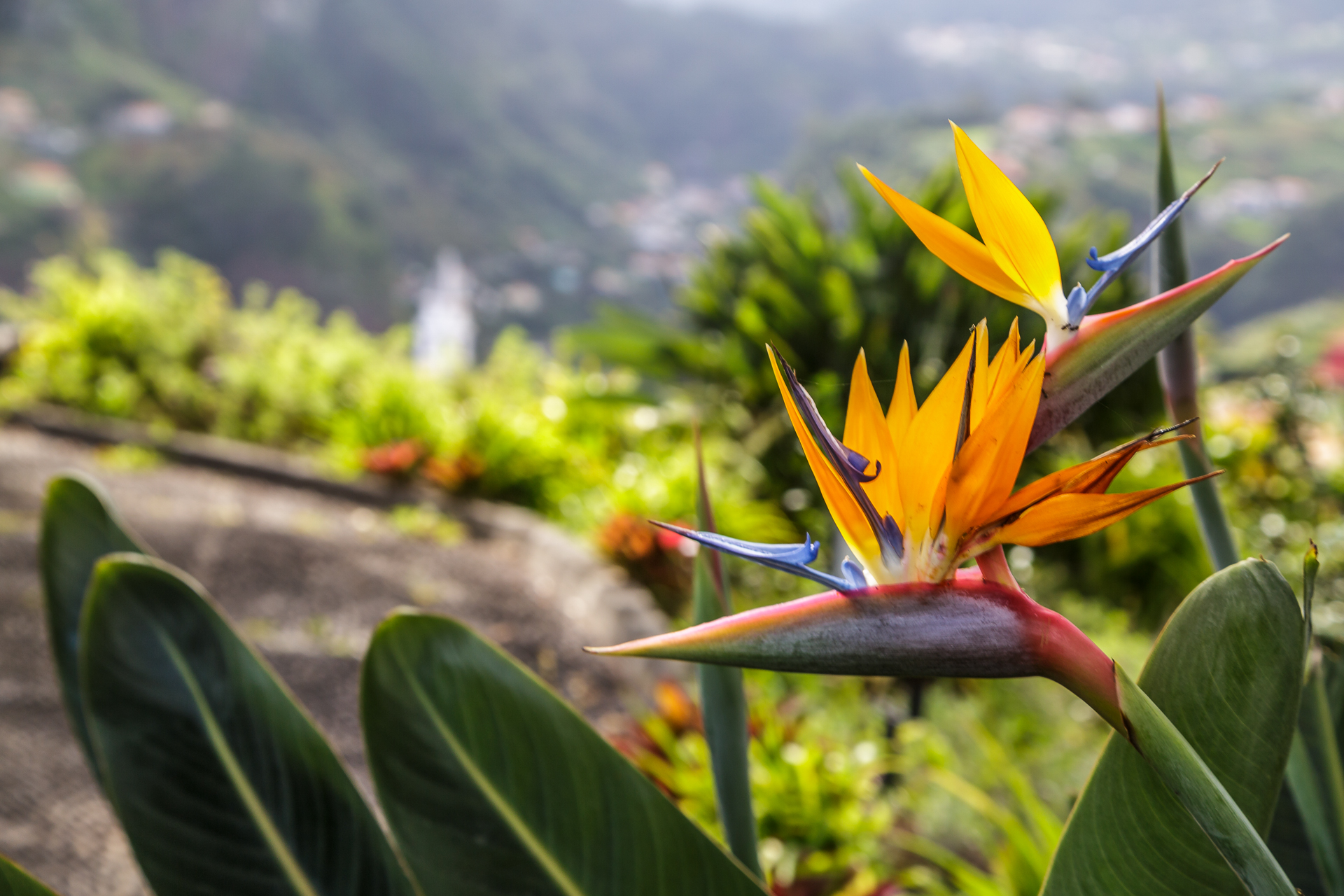 Madeira-typische-Blume