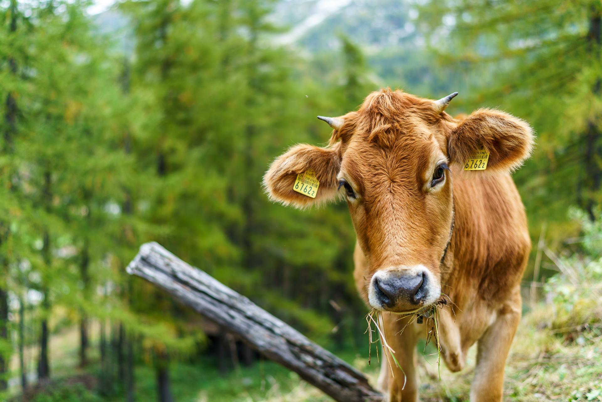 Neugierige-Kuh