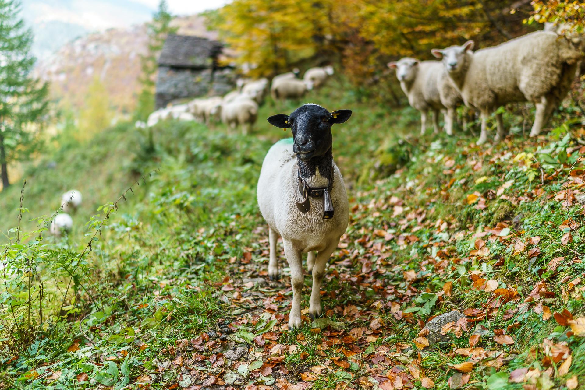 Schafe-Gondo