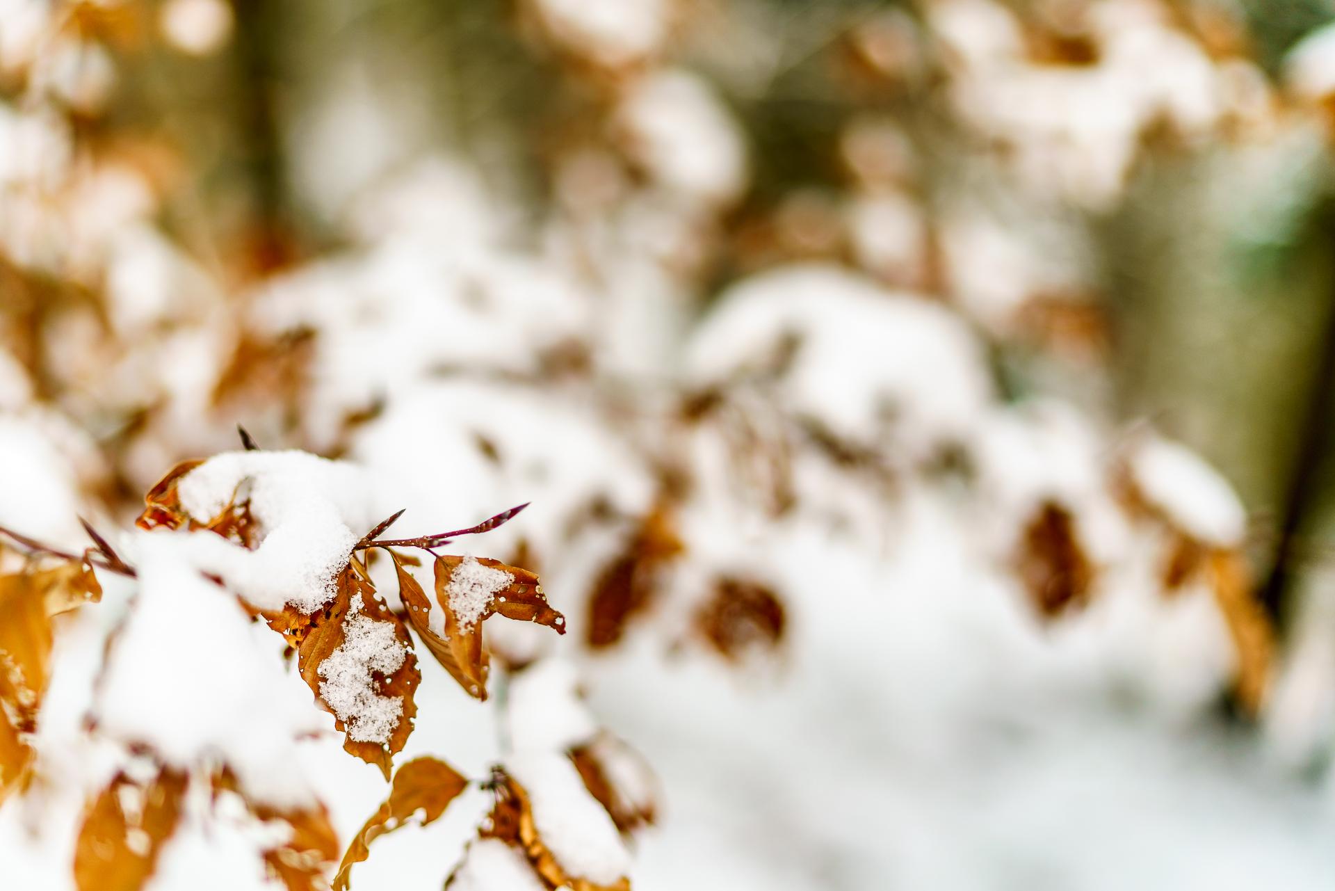 Blaetter-mit-Schnee