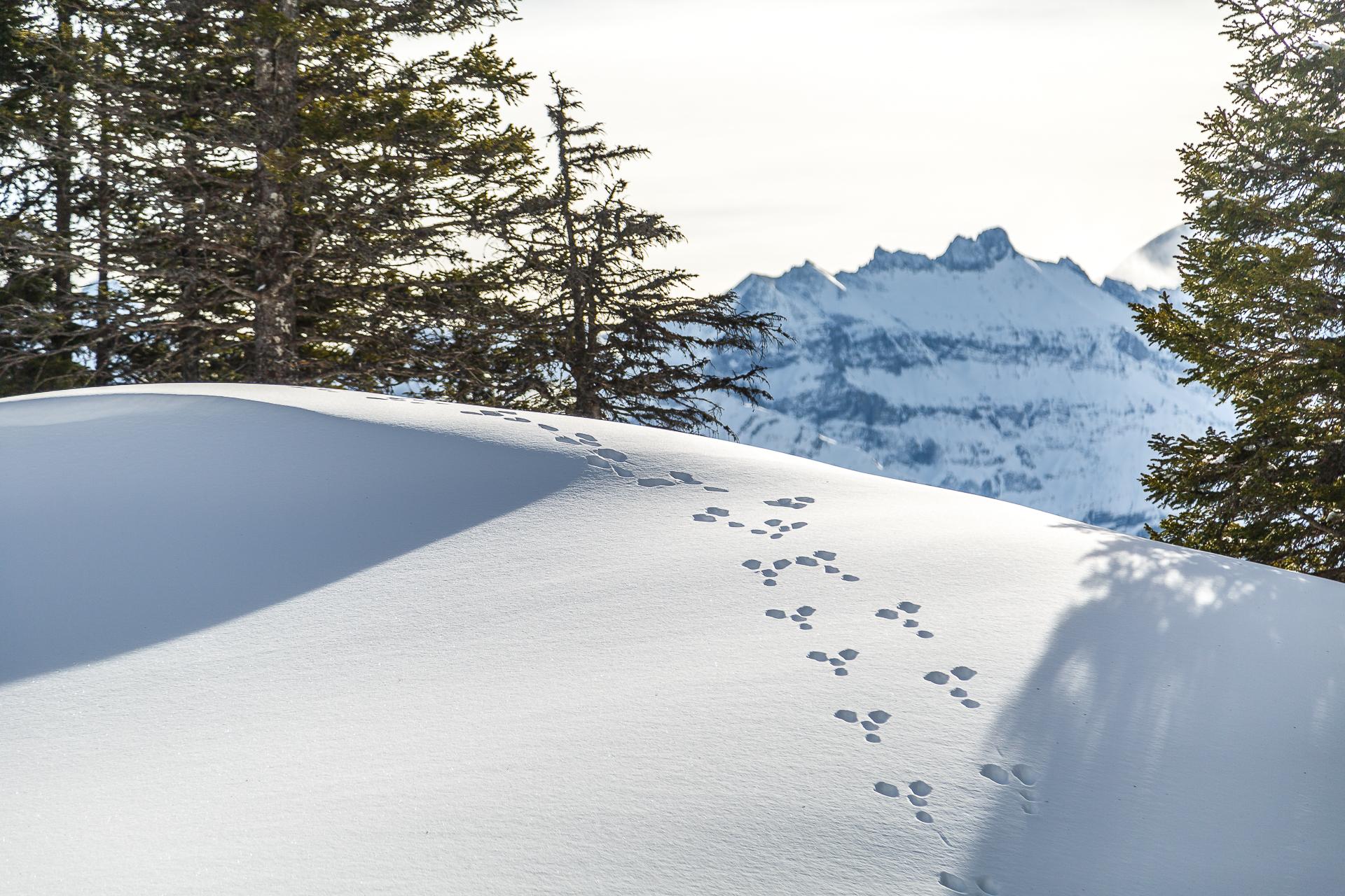 Hasenspuren-im-Schnee