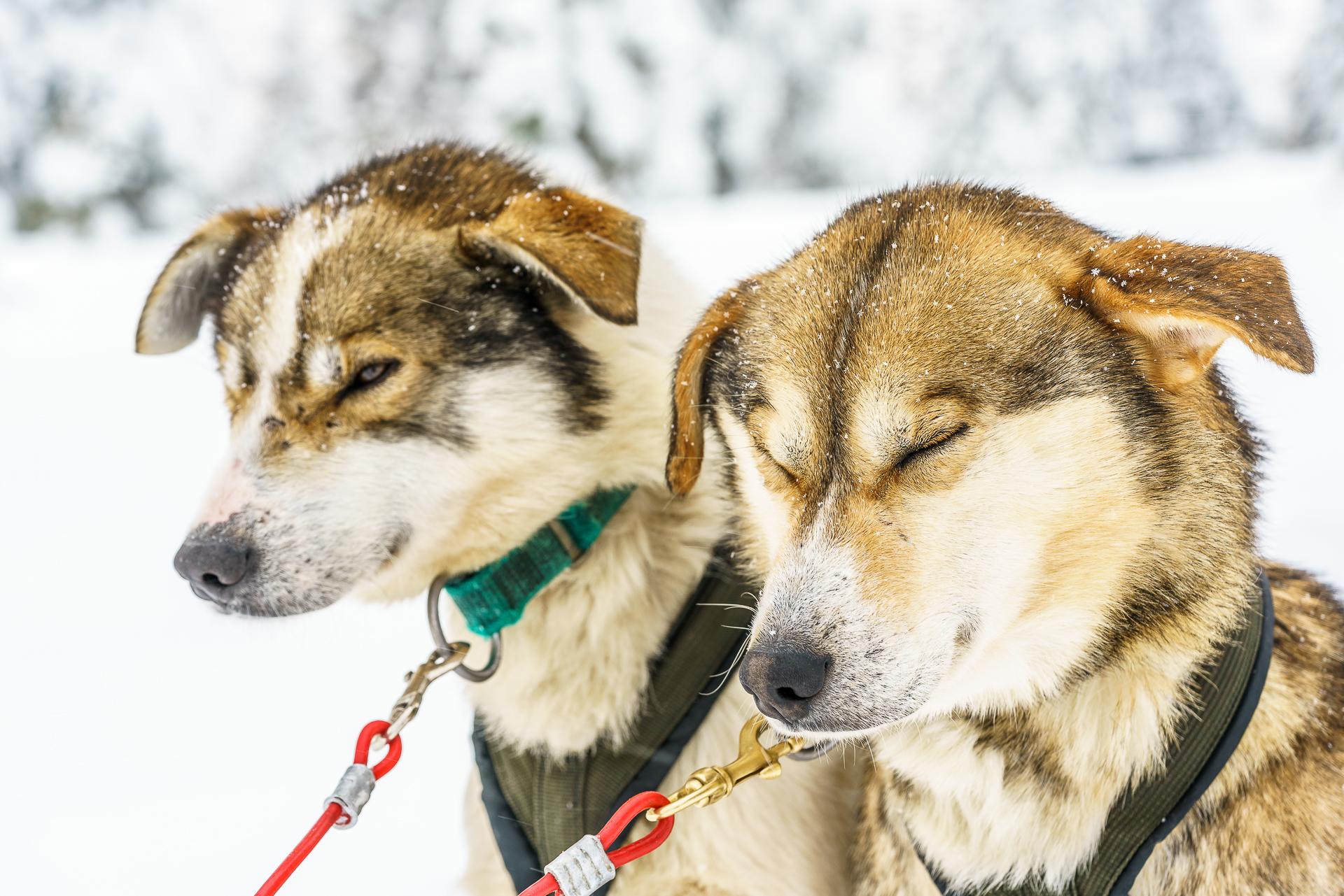 Alaska-Husky
