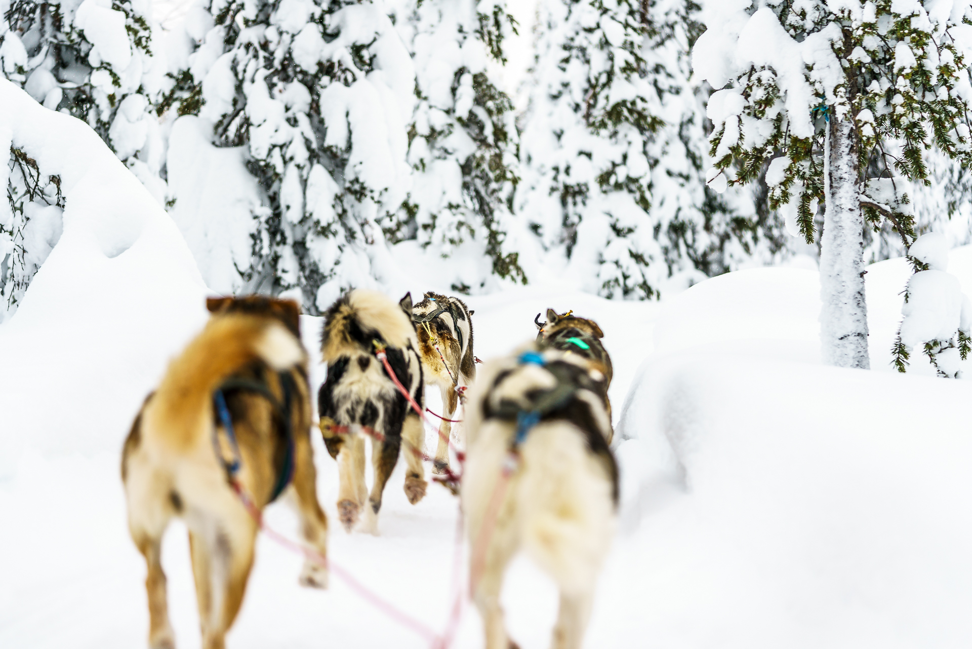 Dogsledding-Safari