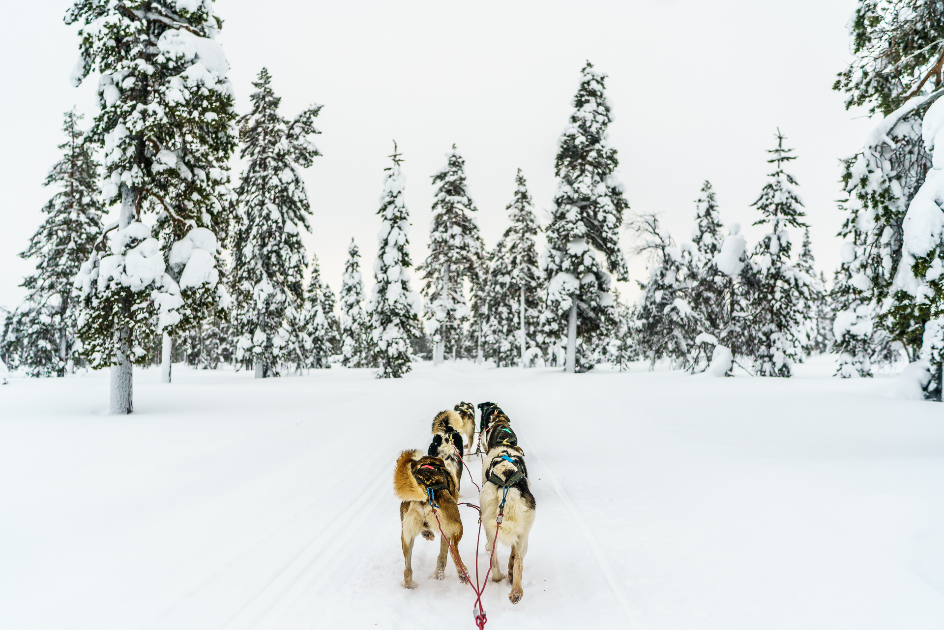 Huskysafari-Lappland