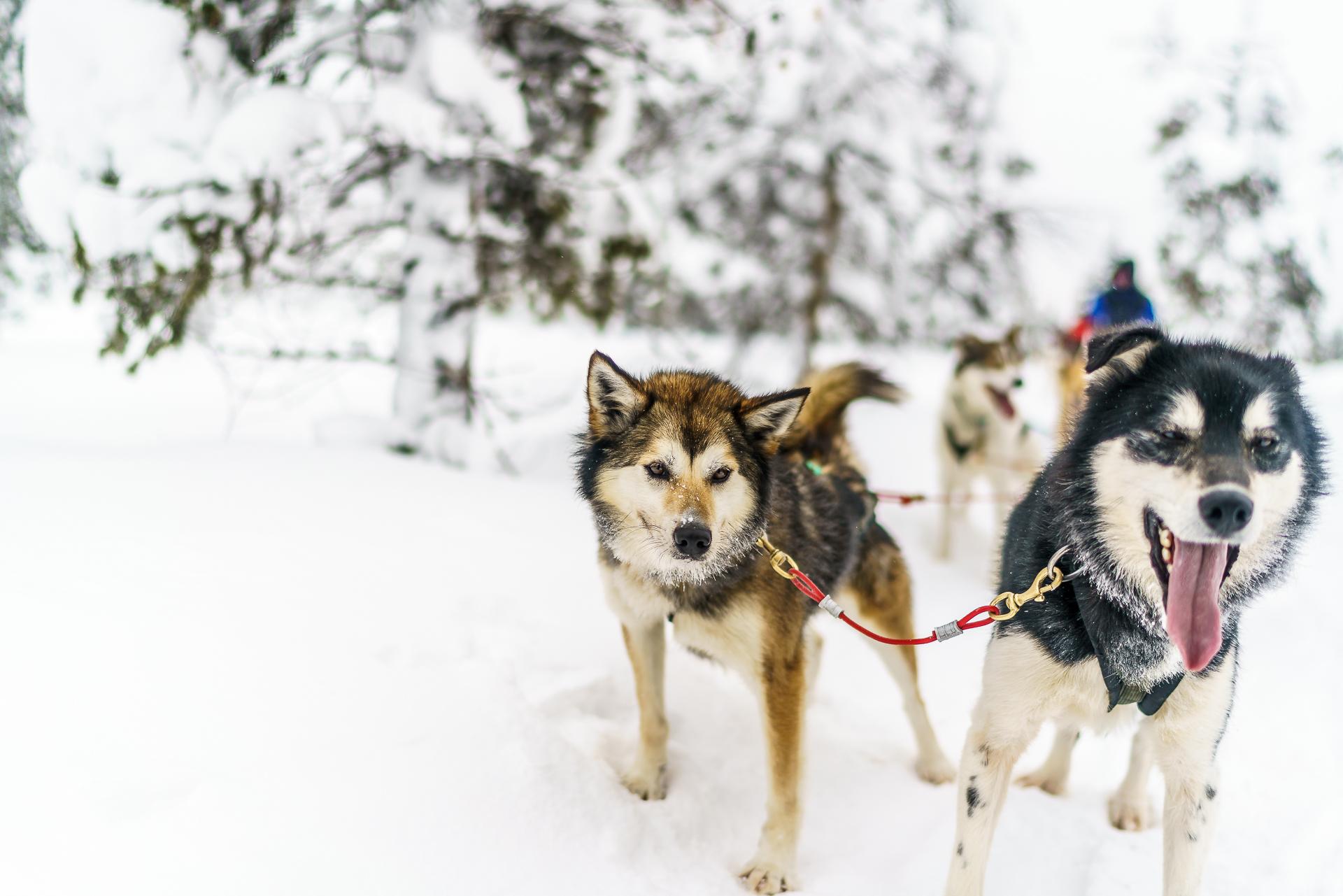 Huskytour-Finnland