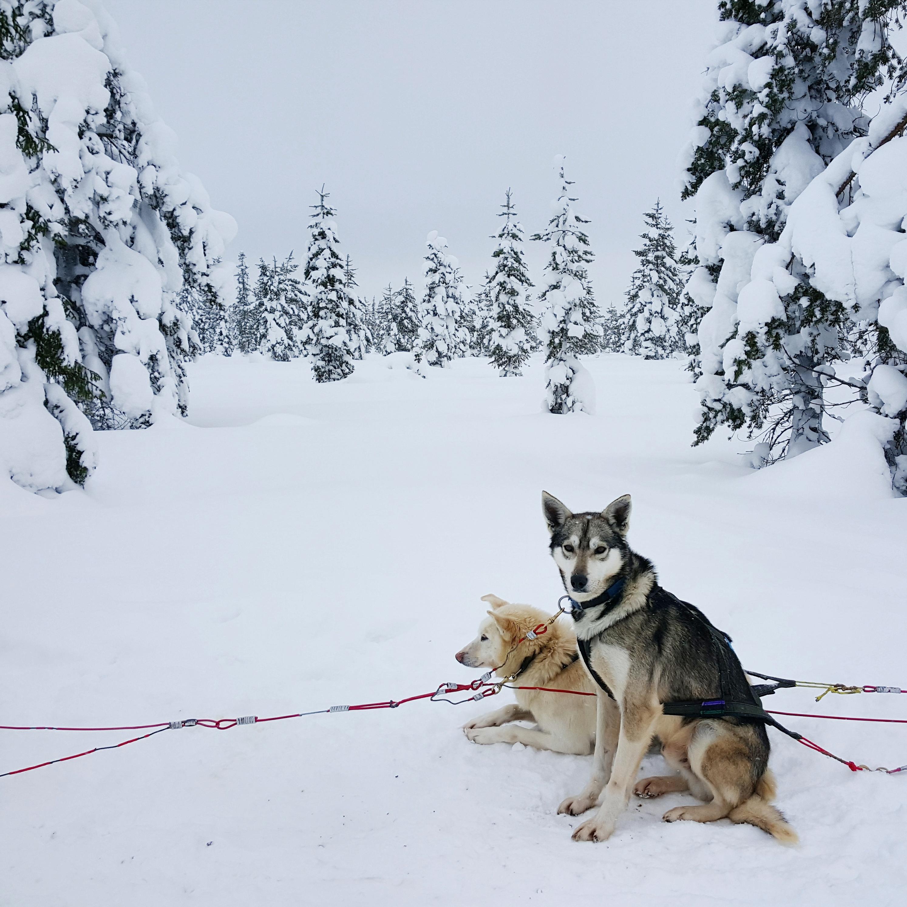 Lappland-Husky