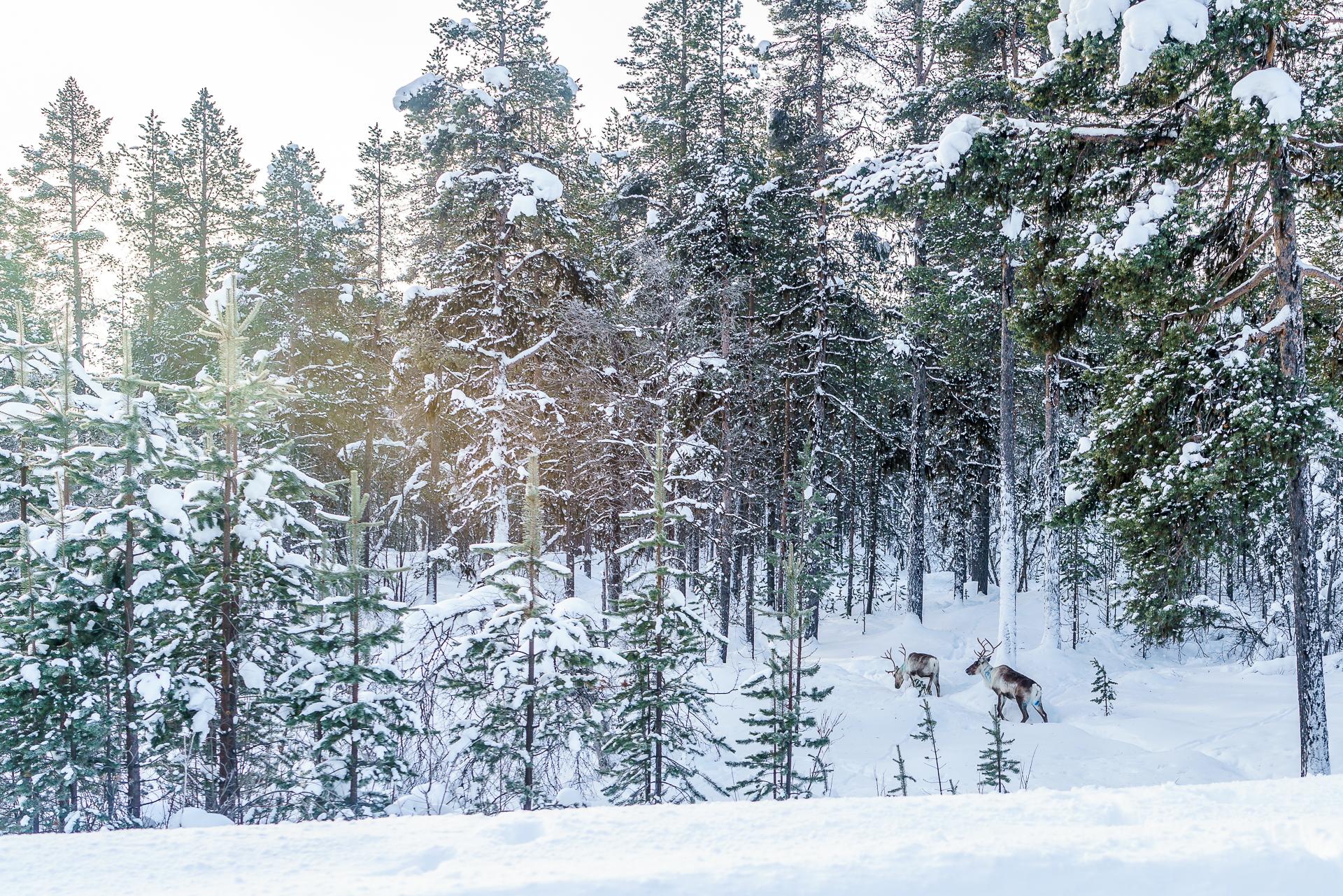 Rentiere-Lappland