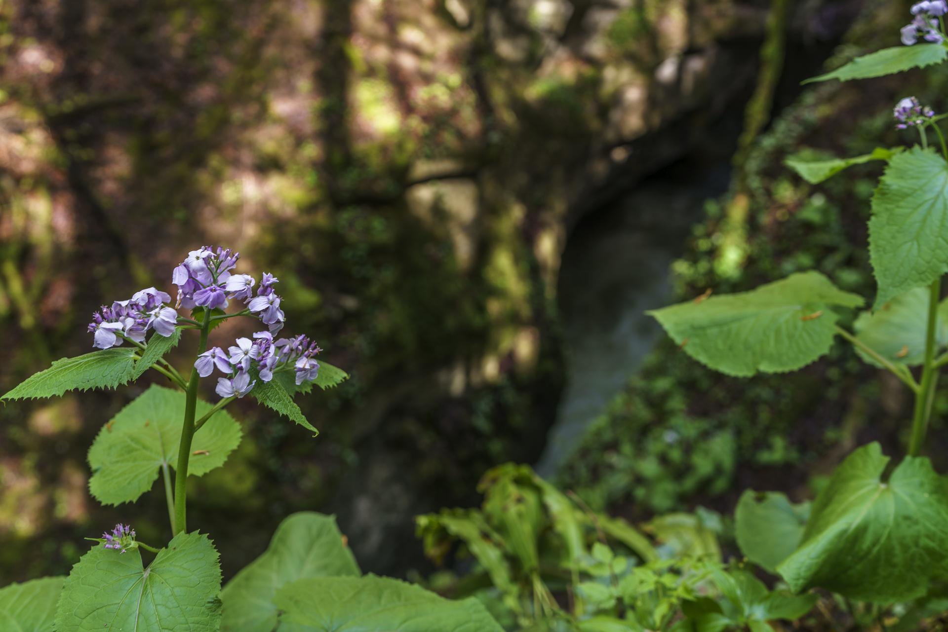 Areuse-Schlucht-Boudry-Fruehlingsblumen