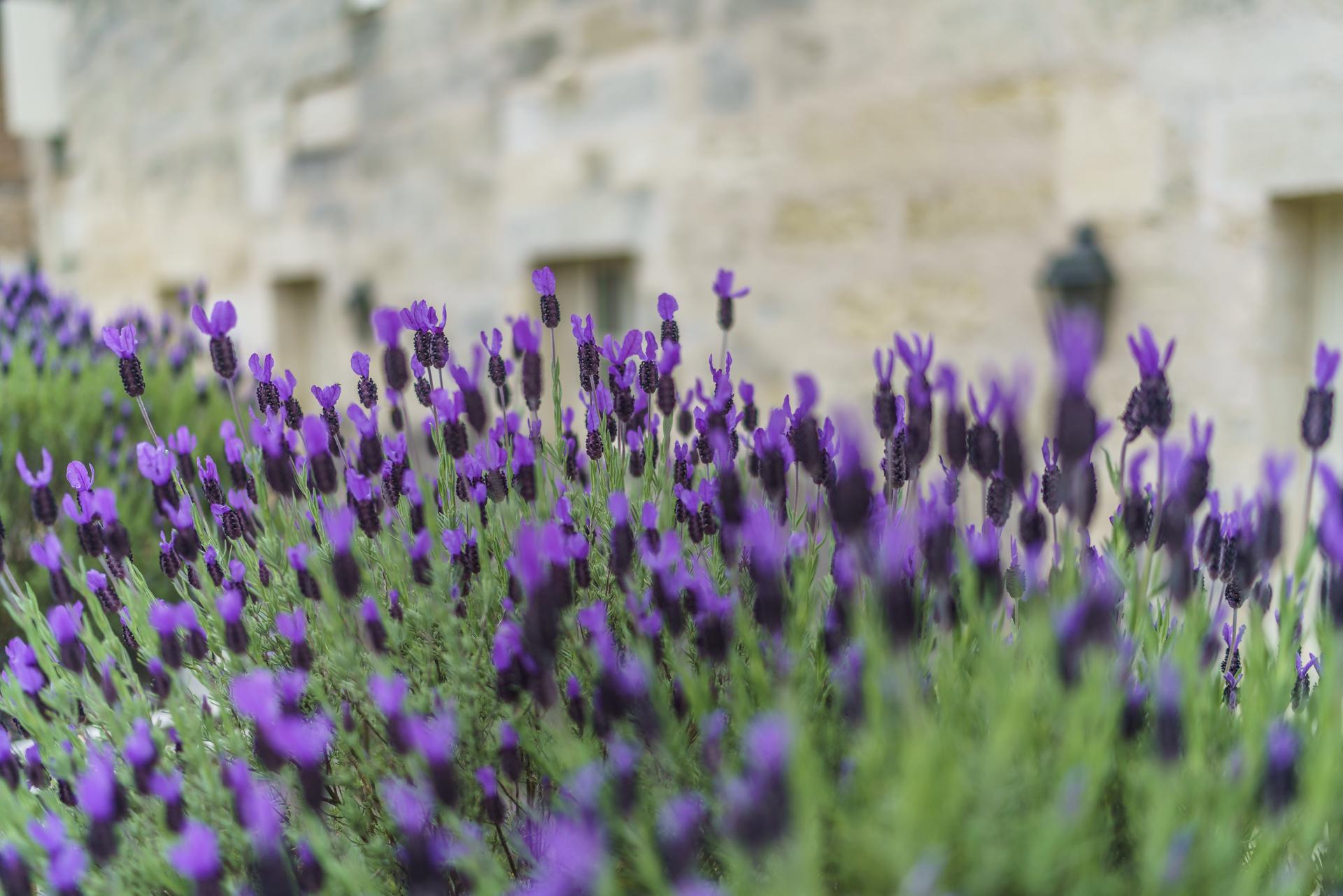 Lavendel-Frankreich