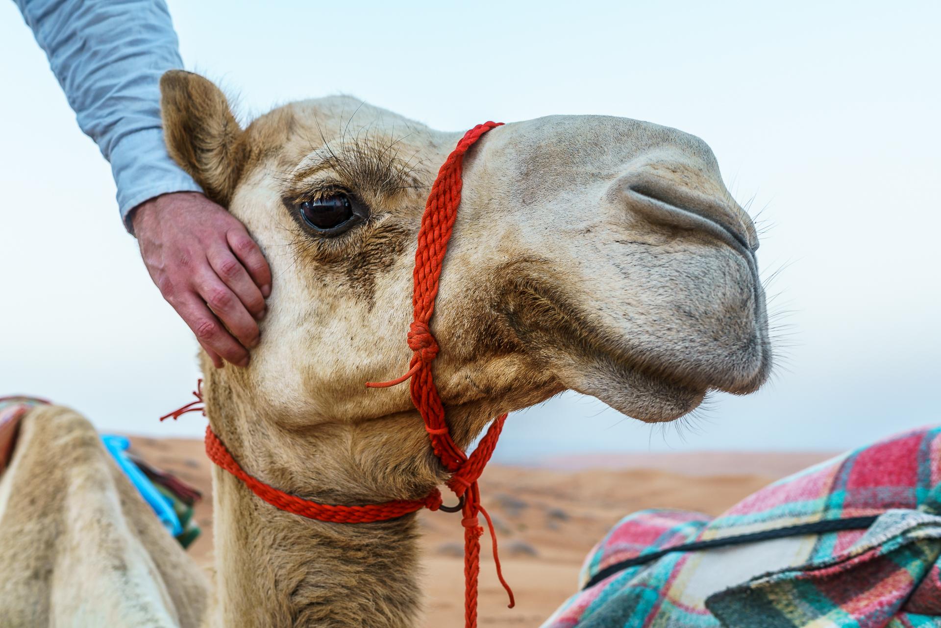 kamel-kuscheln